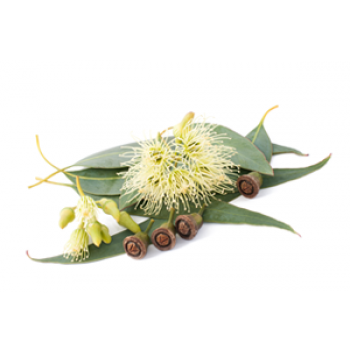 Eucaliptus Essential Oil